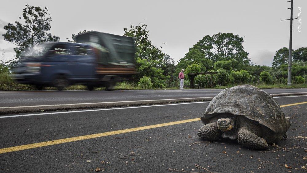 Western Santa Cruz giant tortoise ( Chelonoidis porteri ), Galápagos Islands