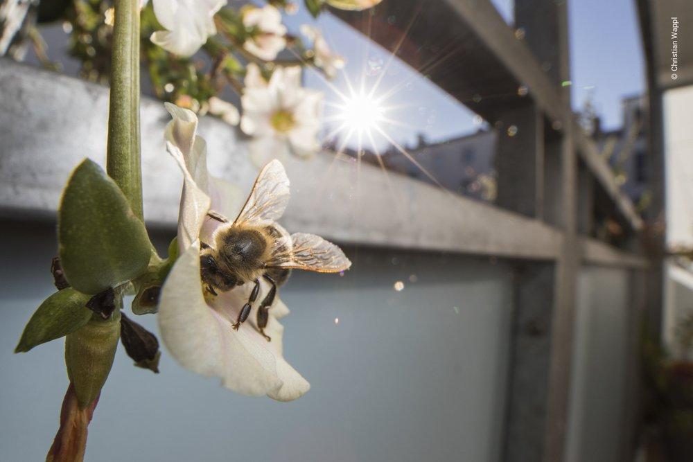 European honey bee ( Apis mellifera ) on the flower of a common purslane ( Portulaca oleracea) , Austria