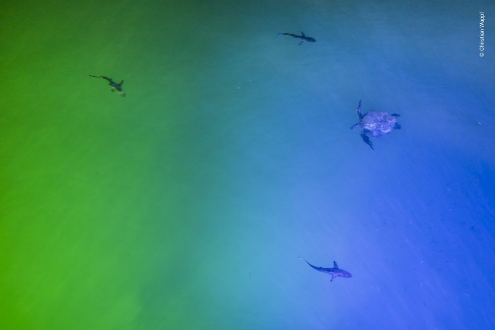 Galápagos green turtle ( Chelonia agassizi ) and blacktip sharks ( Carcharhinus limbatus ), Galápagos Islands