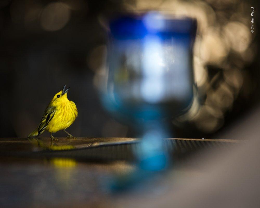 Yellow warbler ( Setophaga petechia ), Galápagos Islands