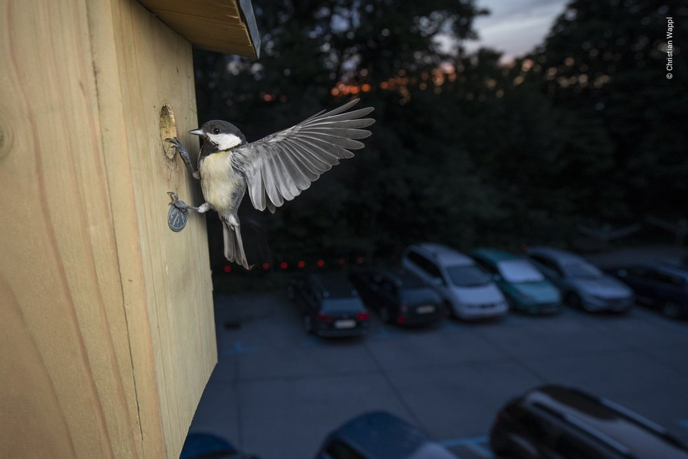 Great tit ( Parus major ) at nesting box, Austria