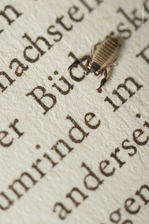 House pseudoscorpion ( Chelifer cancroides ), Austria