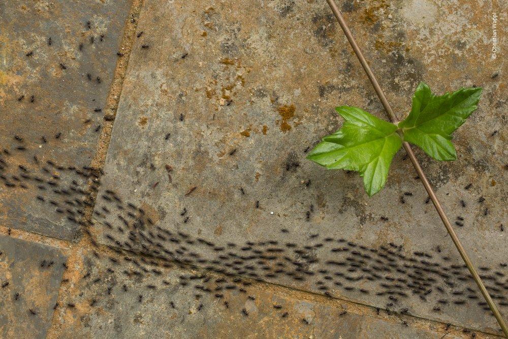 Termites (Isoptera), Malaysia