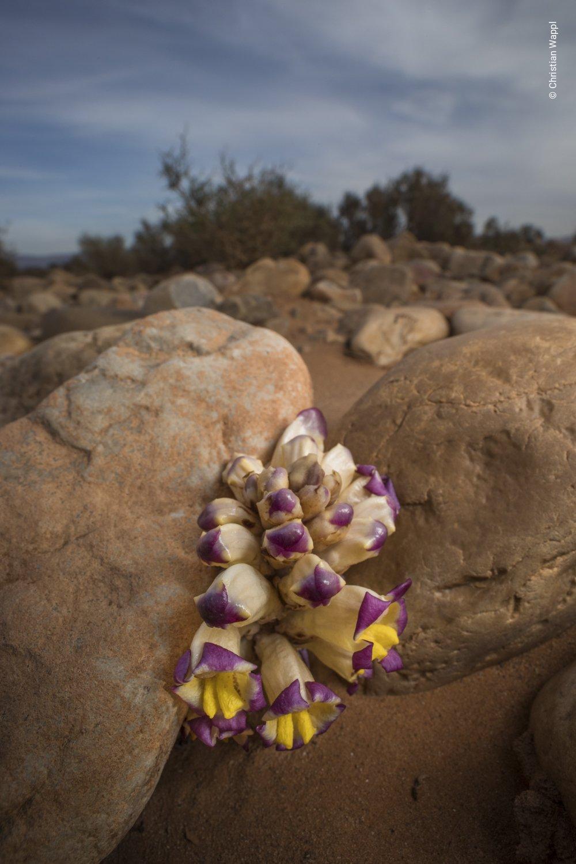 Desert broomrape ( Cistanche violacea ), Morocco