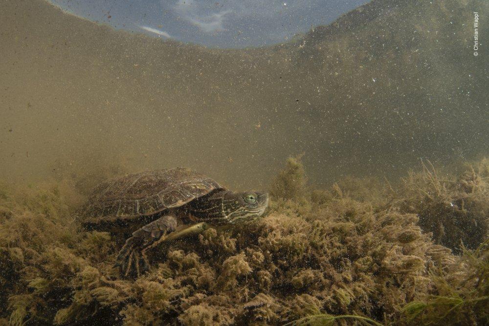 Mediterranean pond turtle ( Mauremys leprosa ), Morocco