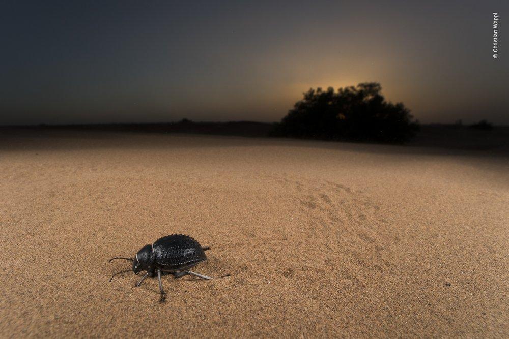 Darkling beetle (Tenebrionidae), Morocco