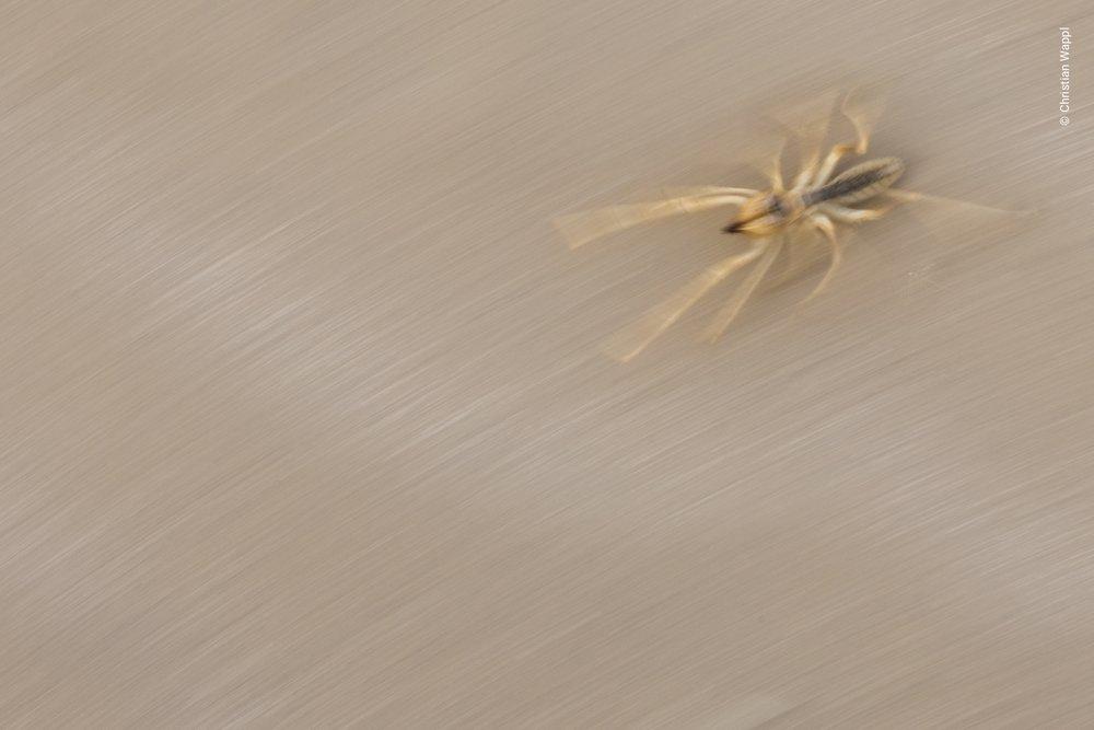 Camel spider (Solifugae), Morocco