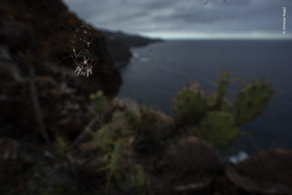 Orb-weaving spider ( Araneus bufo ), Canary Islands