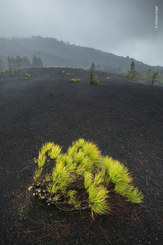 Canary Island pine ( Pinus canariensis ), Canary Islands