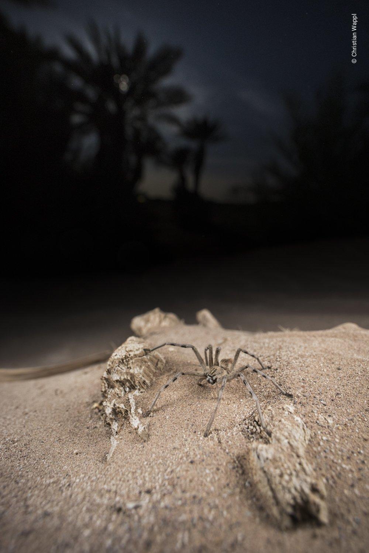 Huntsman spider ( Eusparassus sp. ), Morocco