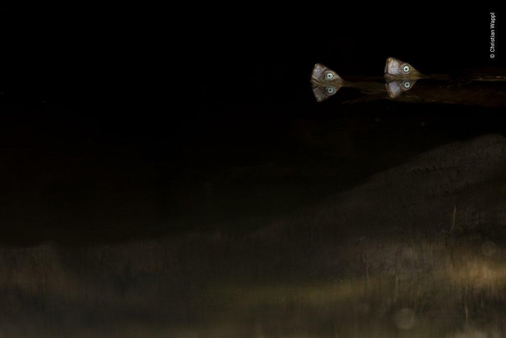 Mediterranean pond turtles ( Mauremys leprosa ), Morocco