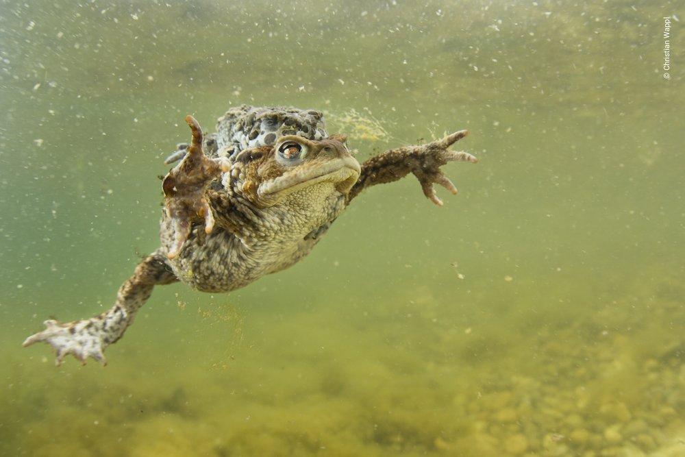 European common toad ( Bufo bufo ) & European green toad ( Bufotes viridis ) mating, Austria