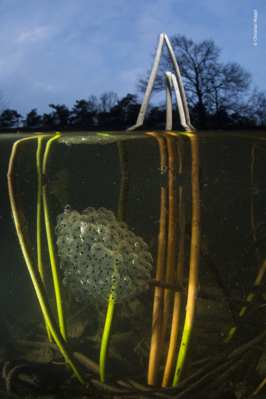 Agile frog ( Rana dalmatina ) spawn, Austria