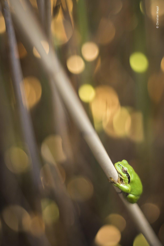 European tree frog ( Hyla arborea ), Austria