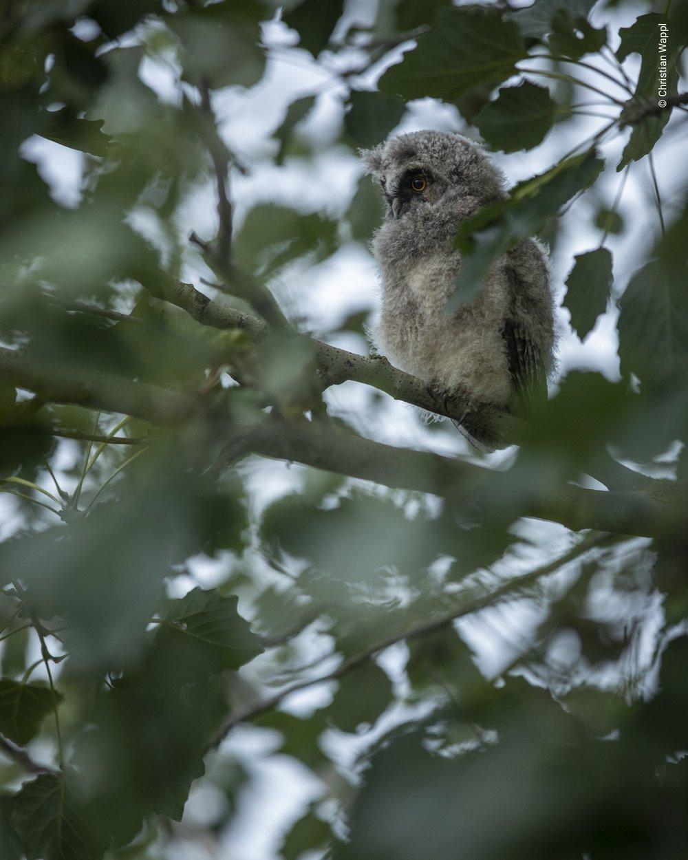 Long-eared owl ( Asio otus ), Austria