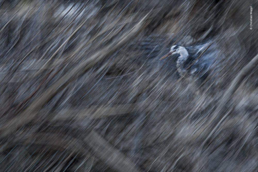 Grey heron ( Ardea cinerea ), Austria