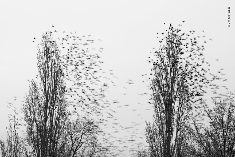 Starlings (Sturnus vulgaris), Austria
