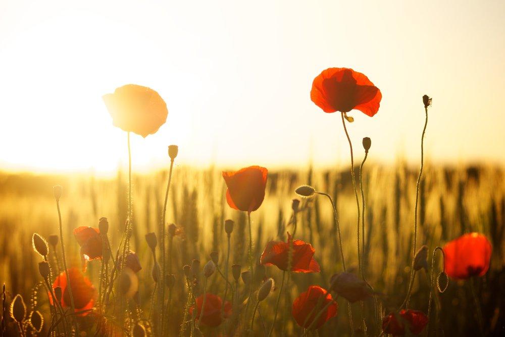 sunset-poppy-backlight-66274 (1).jpeg