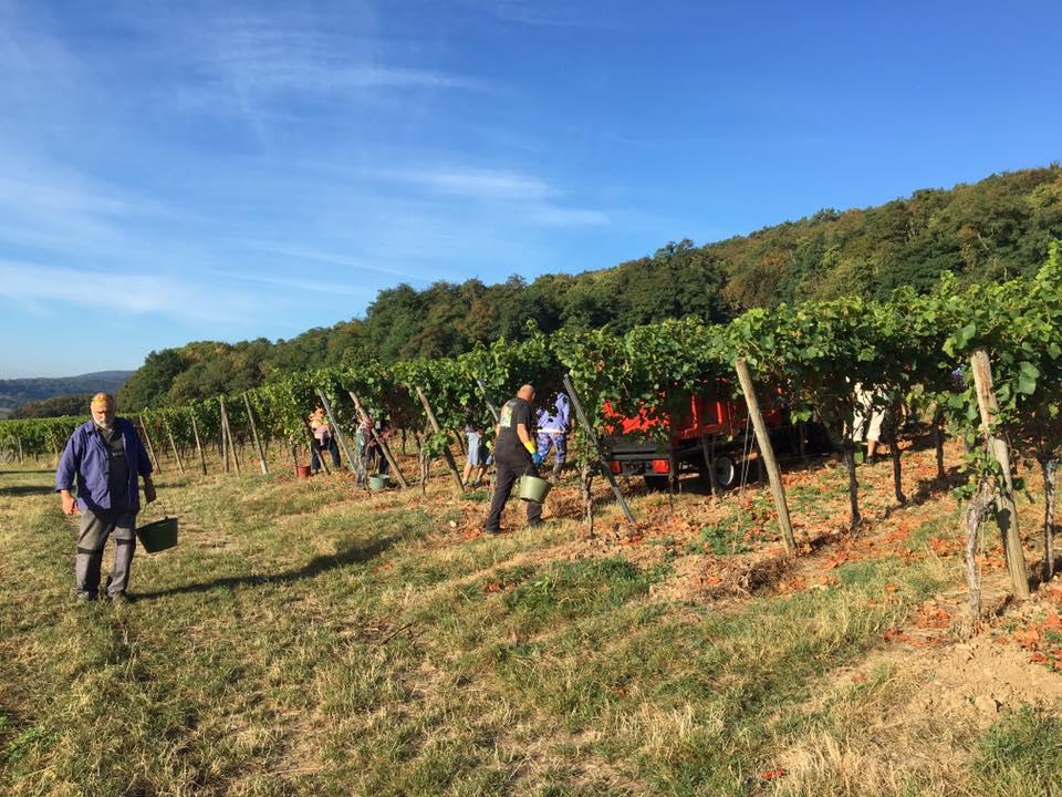 harvesting Pinot Noir II.jpg