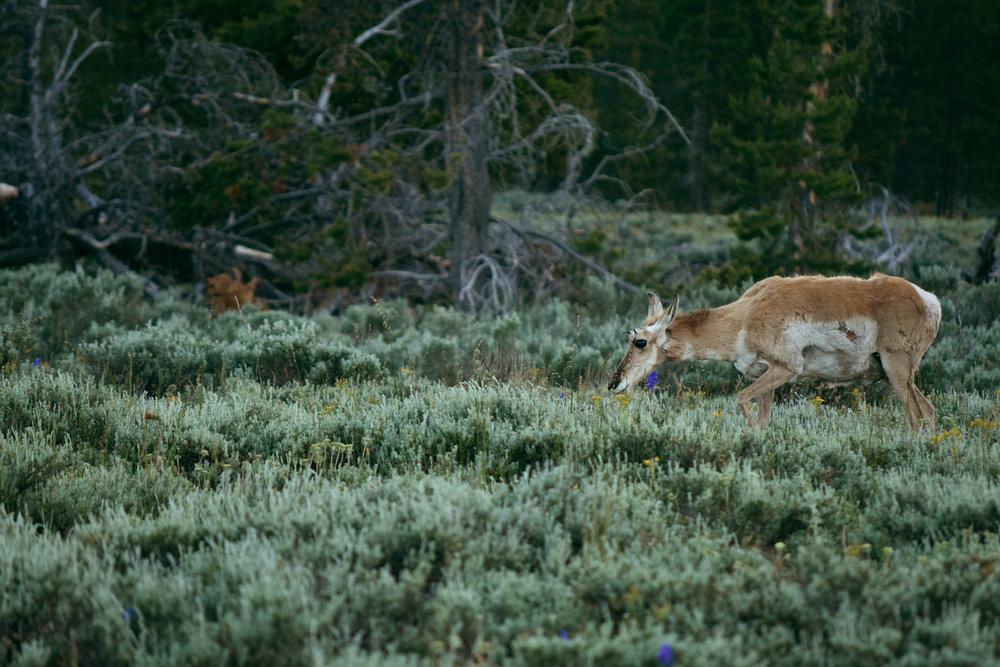 Deer Print.jpg