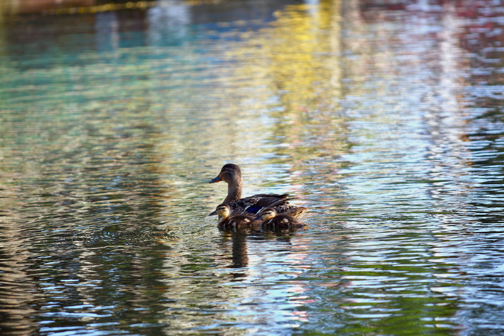 duckers web.jpg
