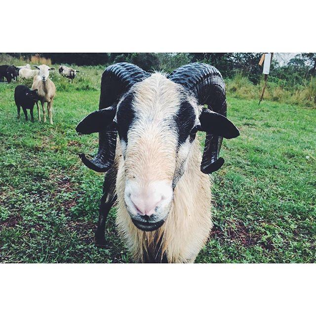 Dad's alpha sheep . . . #puna #pahoa #hawaii
