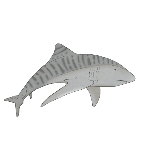 tiger shark_copyright PipitAndFox 2017.jpg