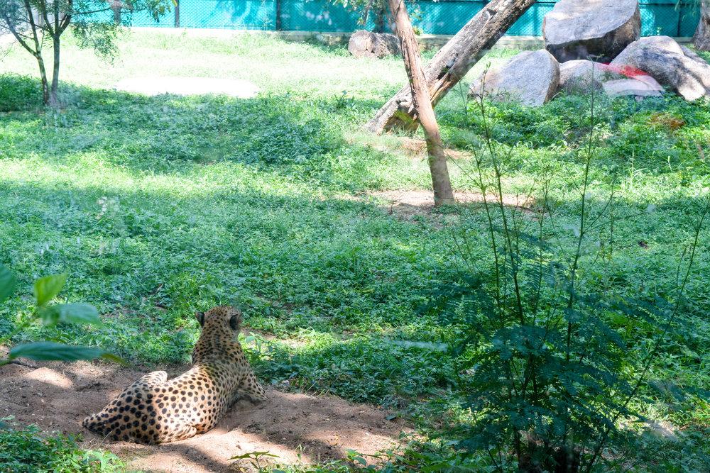 Lazy leopard at the Mysore Zoo.