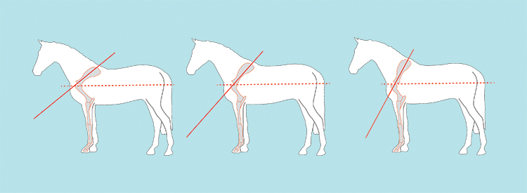 The shoulder position is the angle the shoulder blade forms with the horizontal axis. The shoulder can range from sloped to moderate to straight.    *   http://www.horsemagazine.com/thm/2017/11/conformation-and-the-sport-horse/