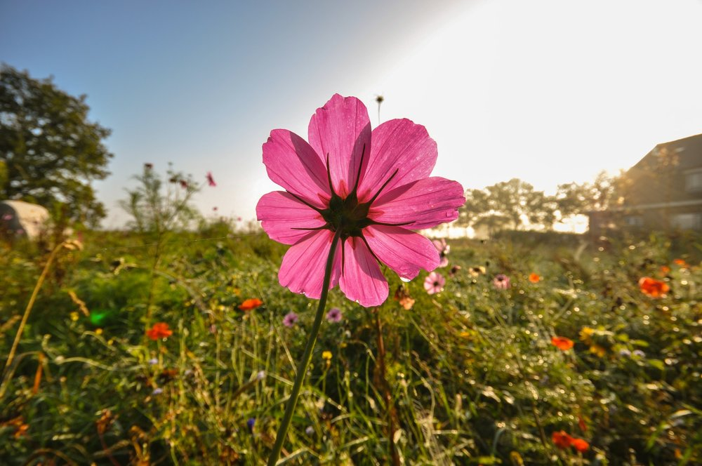 field-meadow-flower-pink.jpg