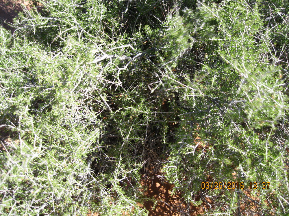 Picture of a wild and chaotic tumbleweed (Russian thistle) from sipra's spring trip to the Southwest.