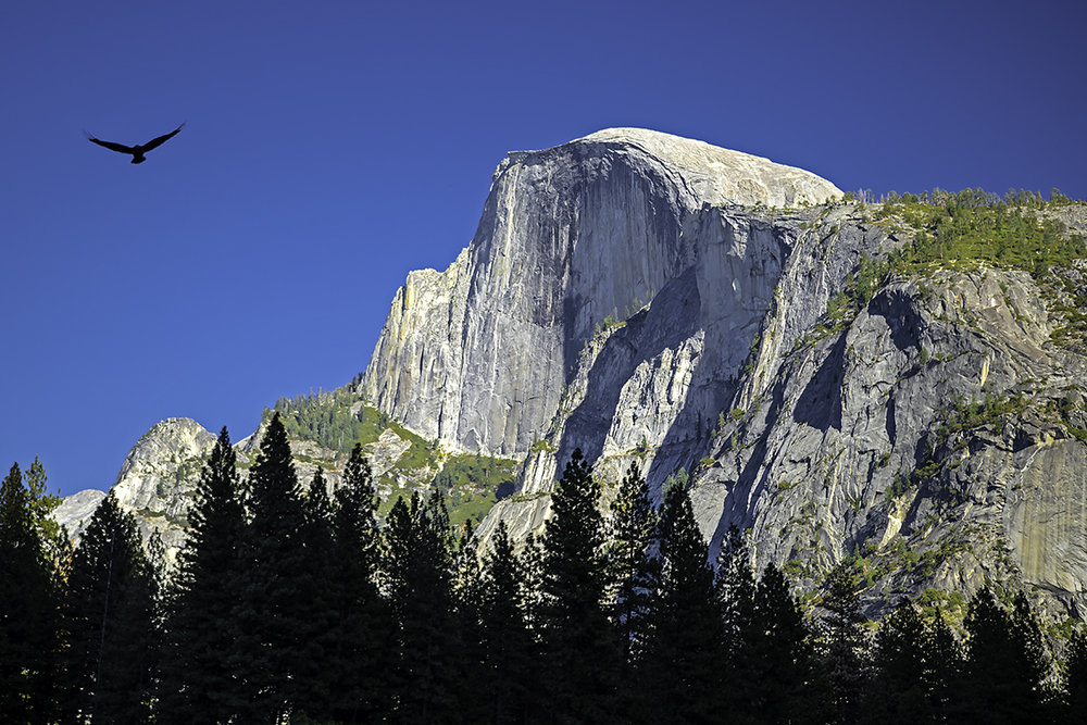 Half Dome, which is arguably the quintessential landmark for Yosemite, with a tree line silhouetted by the mountains behind me and a hawk flying above. Just like my image of Mono Lake, it is the wildlife, which appears unexpectedly that completes my image.
