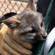 An island fox, bred in captivity, one of the hundreds restored to the once decimated population on Santa Cruz Island