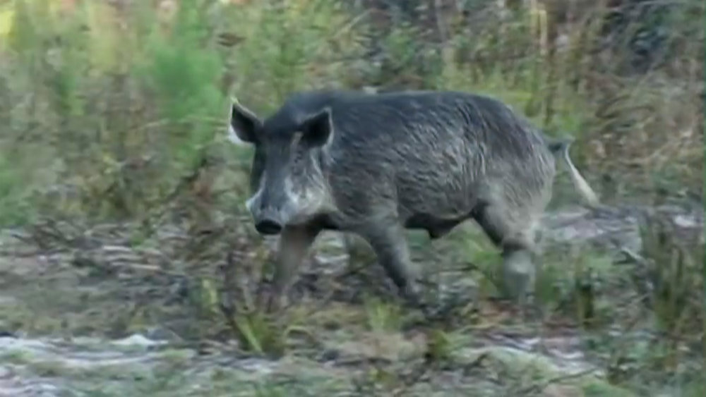 Wild pigs, now hunted to extinction, caused biological havoc on Santa Cruz Island