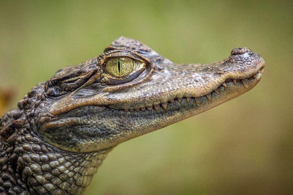 1-19 Alligator.jpg