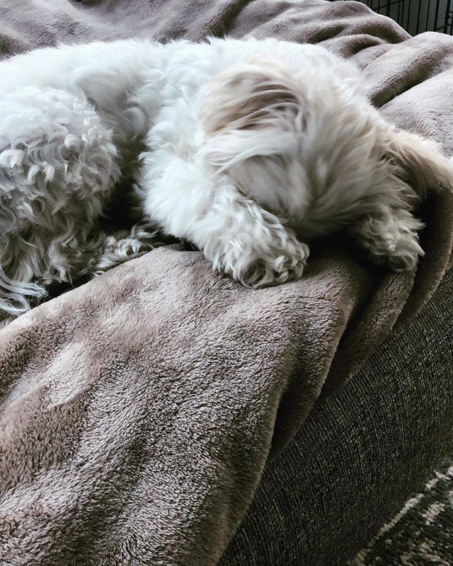 """But mommmmm, I'm not ready for #Monday!"" 🖤 🐾 #furbaby #sunday #maltipoosofinstagram #dogsofinstagram"