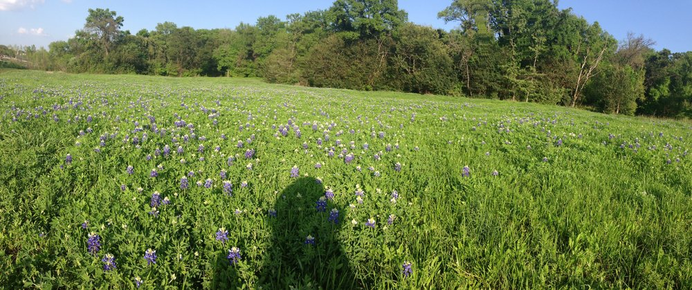 Texas bluebonnets in spring
