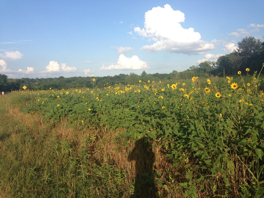Summer sunflowers in Mabel Davis District Park near my house