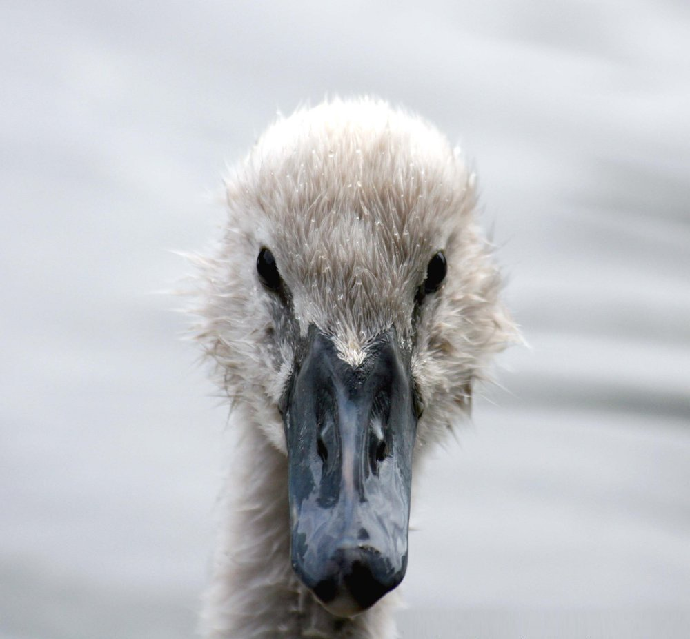A baby swan (cygnet) in Hyde Park, London by Keven Law (Creative Commons)