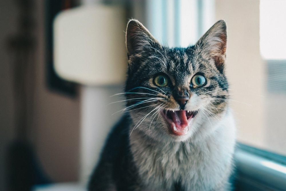 cat_toxin_birchbark