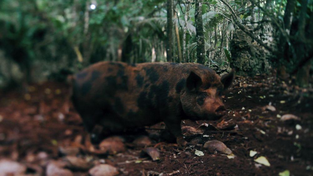 Doc reel_Tongan_pig farmer.jpg