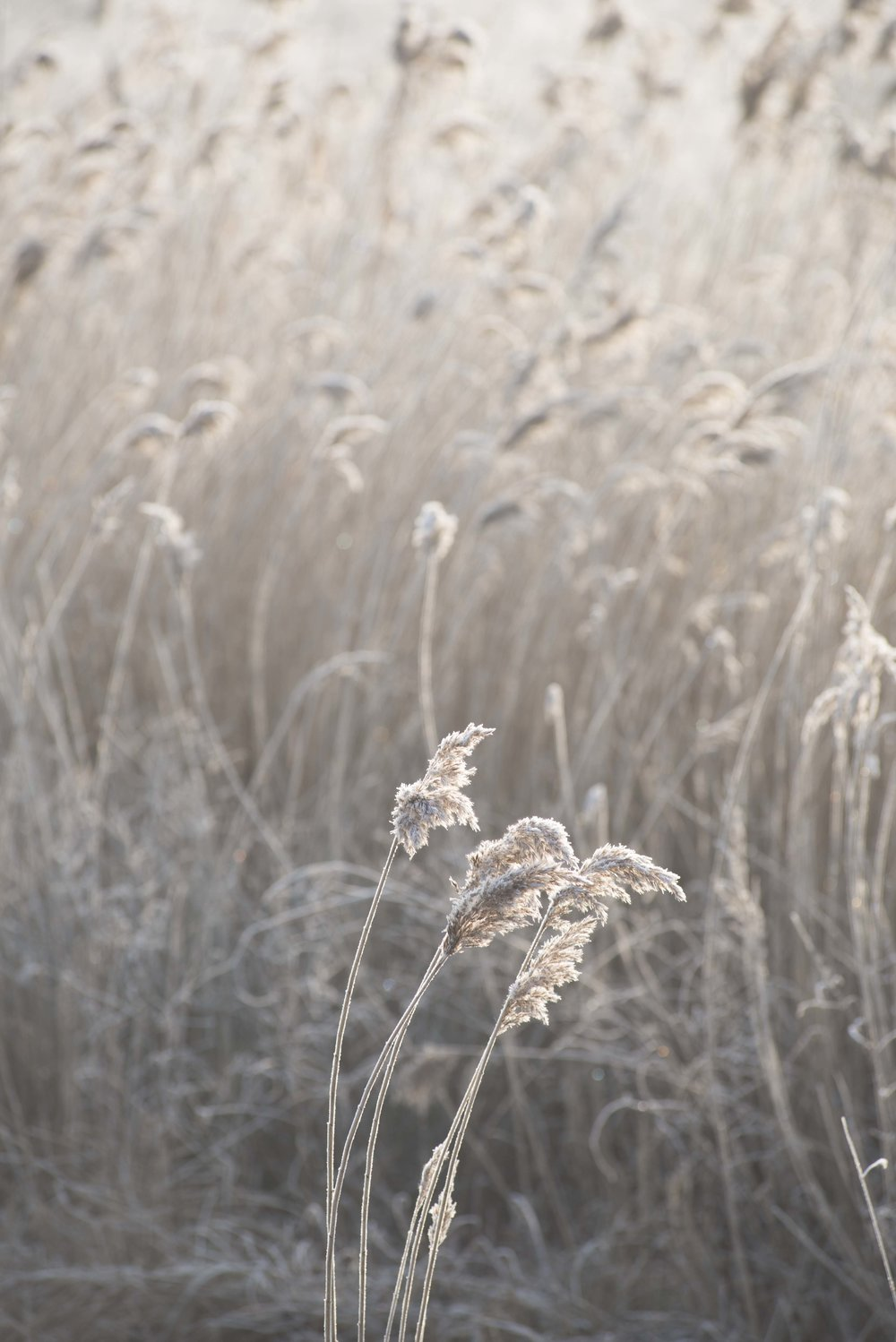 Reeds on winter morning for web.jpg
