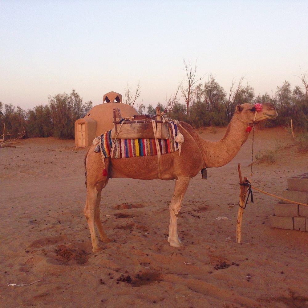 A camel at Barandaz Lodge, Mesr, Iran