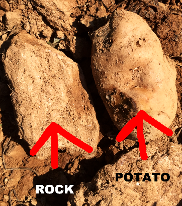 is it a potato or a rock?