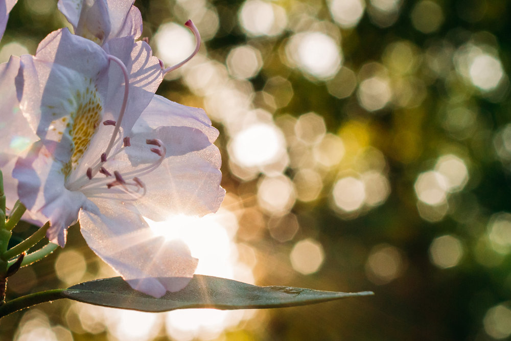 flowers and sunlight - laura barr photography