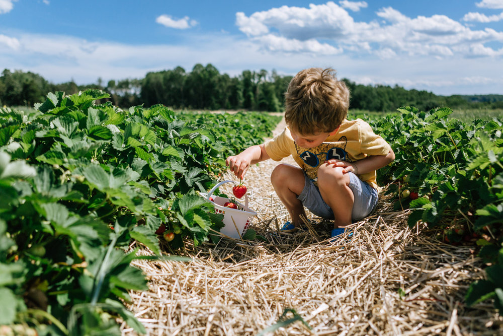 strawberry picking jones family farm - by laura barr photography