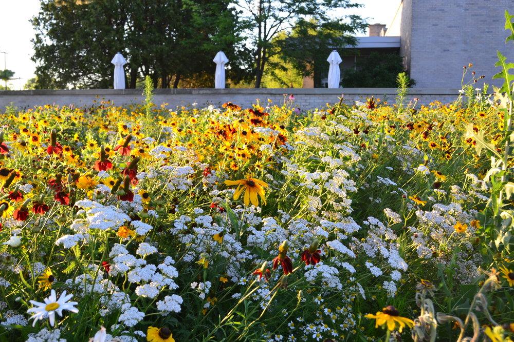 DSC_1614_urban ecosystems meadow.JPG