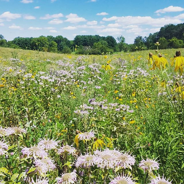 Field of grass converted to meadow. The bees nearly carried me away. #meadow #landscape #plants #pollinators #prairie #restoration #ecology #landarch