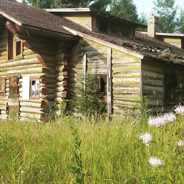 Abandoned cabins. Incredible plant diversity. Counted 47 species in 5 minutes within the disturbed area. #postnative #postnatural #urbanplants #spontaneousurbanplants #ecology #plants #upnorth #wayupnorth #cabin #nature3x #anthropocene #northwoods #landschaft