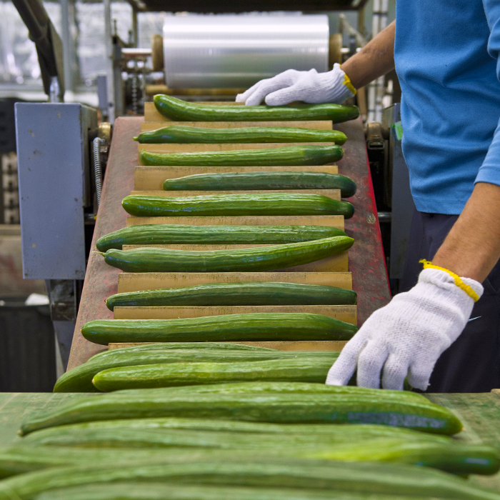 Green English Cucumbers on a Conveyor moving towards a produce Shrink Wrap Packaging machine.